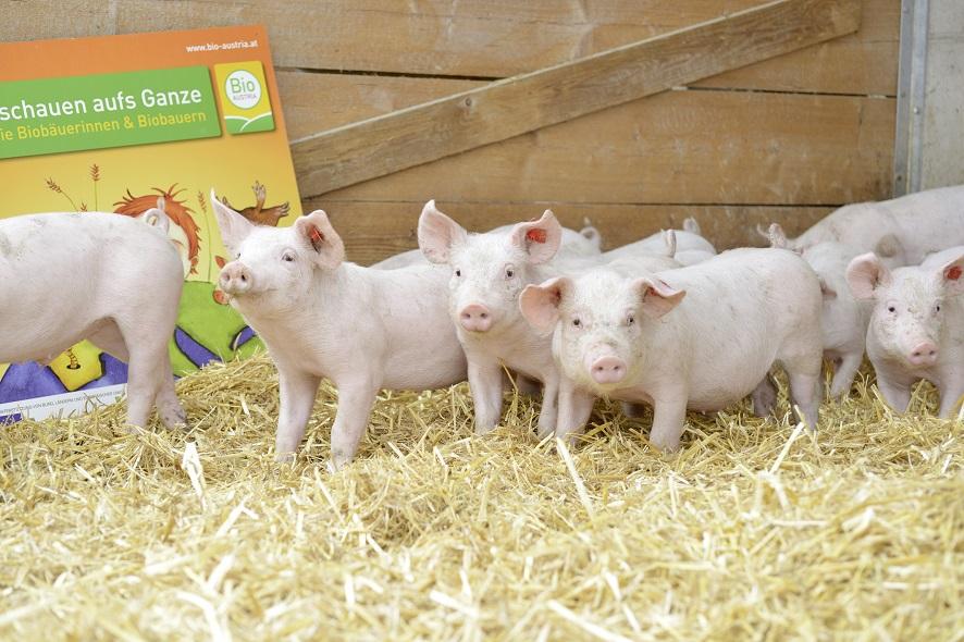 Schweinchen Bauernmarkt